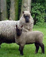 schapen: jaarling ooi met ooilam