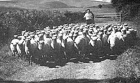 Tom Francis met zijn Clun Forest schapen op pad