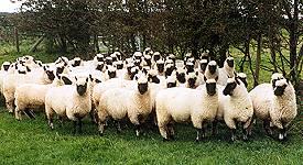 groep Clun Forest schapen