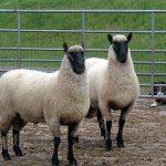 twee jaarling rammen Guifron Flock