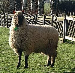 Clun Forest ooi import van Guifron Flock