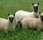 jonge ooi met twee lammeren
