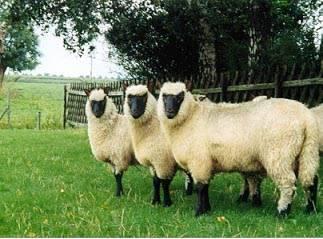 schapen: drie mooi uitgegroeide lammeren.