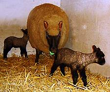 schapen: ooi met tweeling