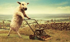 een schaap als grasmaaier
