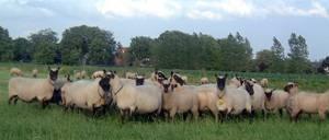 De kudde schapen en lammeren in de herfst