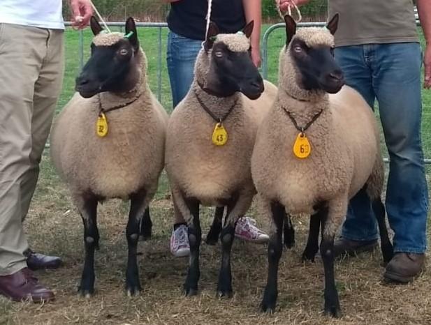 Clun Forest schapen: drie ooien op keuring